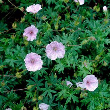 Blodnäva (Geranium sanguineum 'Striatum') 8-pack