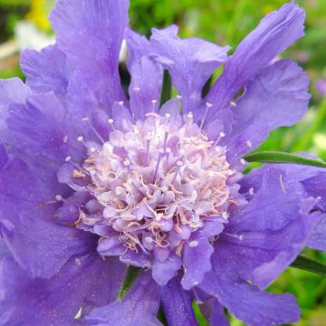 Höstvädd (Scabiosa caucasica Perfecta Blue) 8-pack