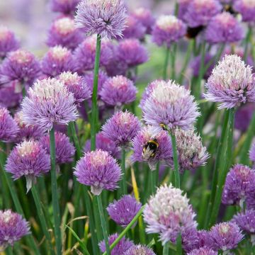 Gräslök (Allium schoenoprasum bio)