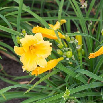 Daglilja (Hemerocallis 'Stella d'Oro' bio)