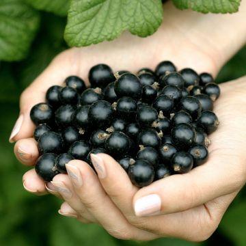 Svarta Vinbär (Ribes n. Titania)