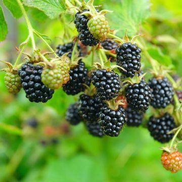 Björnbär (Rubus fruticosus 'Black Satin')