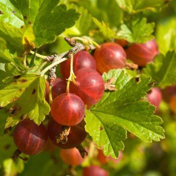 Krusbär (Ribes u.c. Hinonmaki)