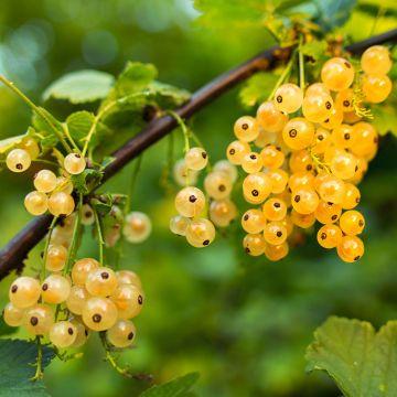 Vita vinbär (Ribes r. 'Werdavia')