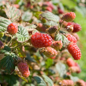 Tayberry (Rubus 'Tayberry')