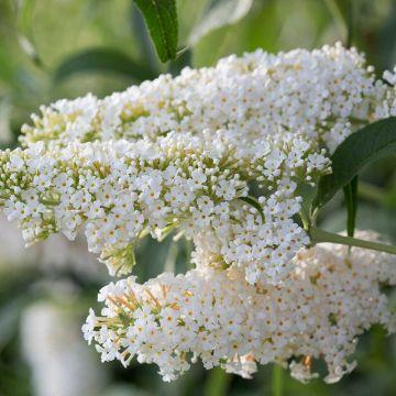 Fjärilsbuske (Buddleja dav. 'Darts Ornamental White')