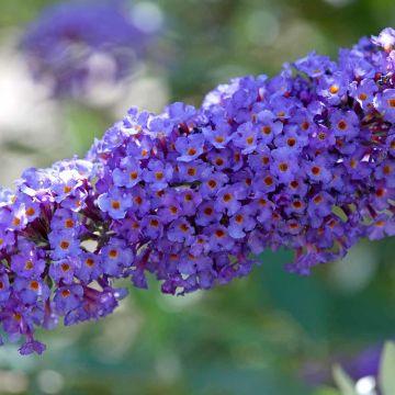 Fjärilsbuske (Buddleja davidii 'Nanho Blue')