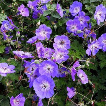 Trädgårdsnäva (Geranium Rozanne) 8-pack