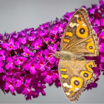 Fjärilsbuske (Buddleja davidii 'Royal Red')