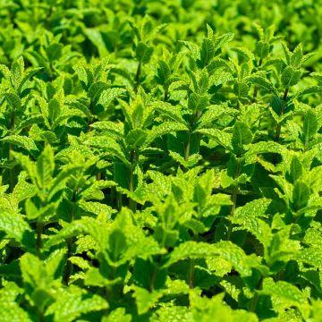 Marockansk grönmynta (Mentha spicata 'Moroccan' bio)