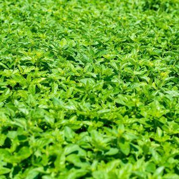Kungsmynta oregano (Origanum vulgare bio)