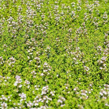 Aroma-Thymian (Thymus vulgaris 'Faustini' bio)