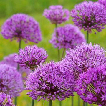 Purpurlök 'Purple Sensation' 5 st