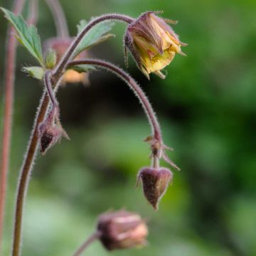 Humleblomster (Geum rivale)