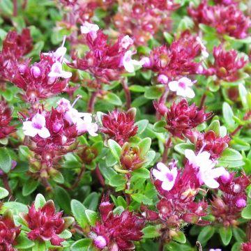 Backtimjan (Thymus Praecox Coccineus)