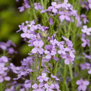 Trädgårdsnattviol (Hesperis matronalis)