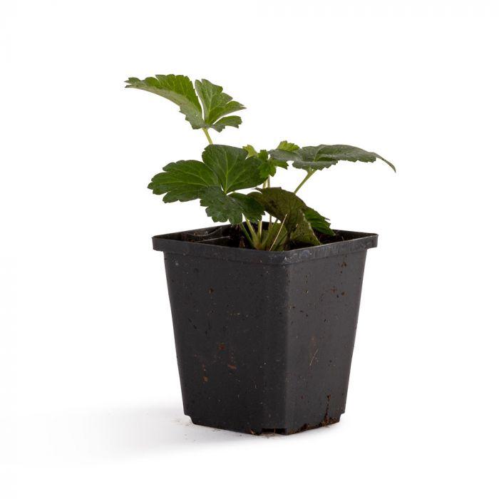 Waldsteinia (Waldsteinia Ternata) 8-pack