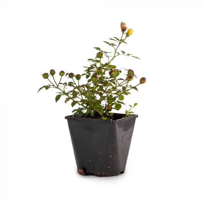 Bijenweelde® Rosor 5-pack