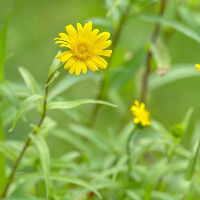 Ljusöga (Buphthalmum Salicifolium bio)