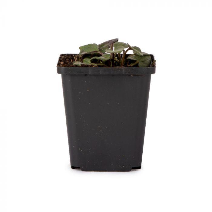Gul solhatt (Rudbeckia fulgida 'Goldsturm')