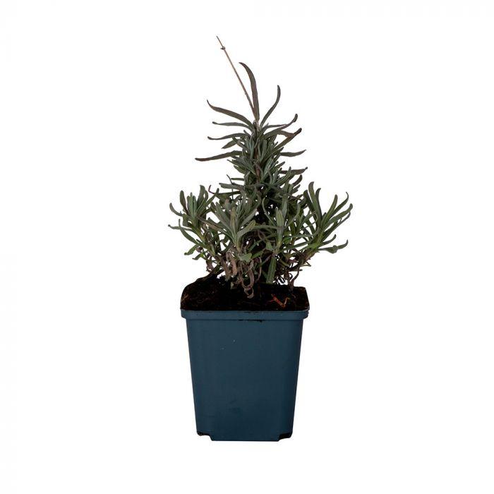 Lavendel (Lavandula Angustifolia Hidcote) 8-pack