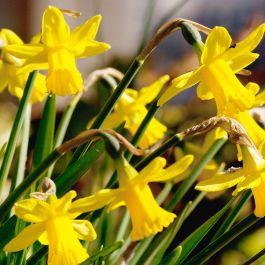 Påsklilja (Narcis téte-a-téte) 20 st.