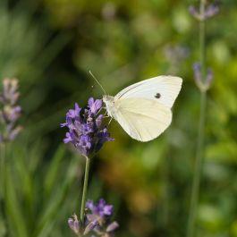 Lavendel (Lavandula Angustifolia Hidcote) 14 cm kruka