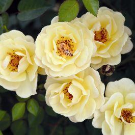 Bijenweelde ® Gul