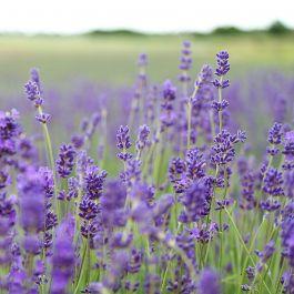 Lavendel (Lavendula ang. 'Munstead Strain')