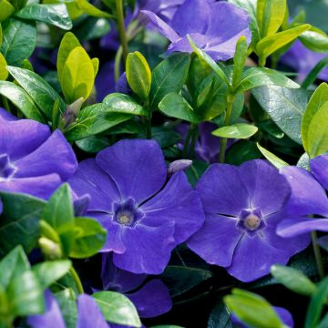 Vintergröna (Vinca Minor) 8-pack