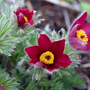 Backsippa 'Röde Klokke' (Pulstatilla vulgaris 'Röde Klokke')
