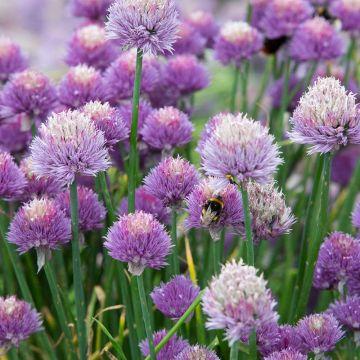 Gräslök (Allium shoeoprasum)