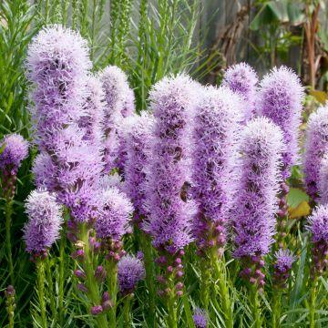 Rosenstav ´Kobold´ (Liatris spicata ´Kobold´)
