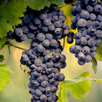 Bordsdruva ´Muscat blue´ (Vitis vinifera Blue)