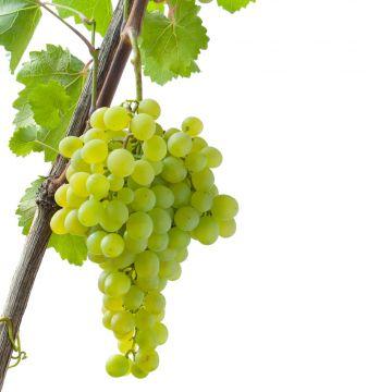 Bordsdruva ´White´ (Vitis vinifera White)