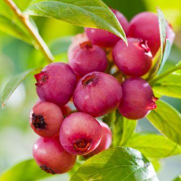 Blåbär (Vaccinium c.' Pink Lemonade')