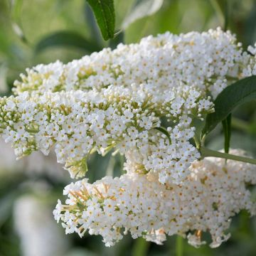 Fjärilsbuske (Buddleja dav. 'Darts Ornamental White')