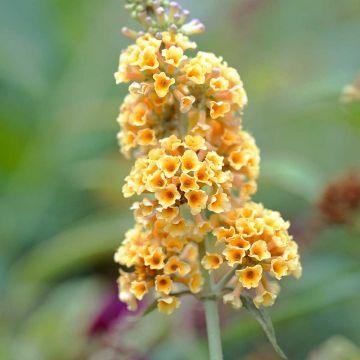 Fjärilsbuske (Syrenbuddleja) 'Sungold'