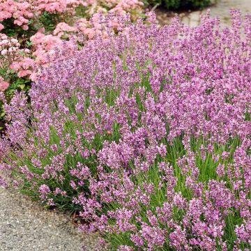 Rosablommande lavendel (Lavandula angustifolia 'Rosea') 8-pack