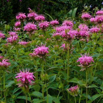 Temynta 'Croftway Pink'
