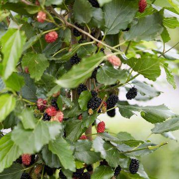 Dvärgmullbär (Morus rotundiloba 'Mojo Berry')