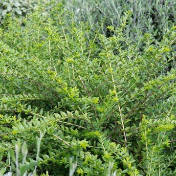 Myrtentry (Lonicera nitida 'Maigrün') 8-pack