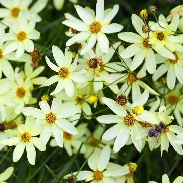 Flicköga (Coreopsis vert. 'Moonbeam') 10-pack