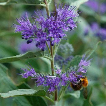 Skäggbuske (Caryopteris clandonensis 'Heavenly Blue')