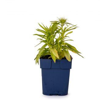 Borstnejlika (Dianthus barbatus 'Barbarini White' bio)