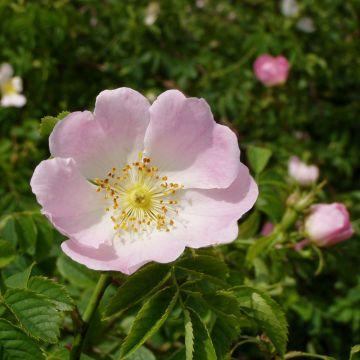 Stenros (Rosa canina)