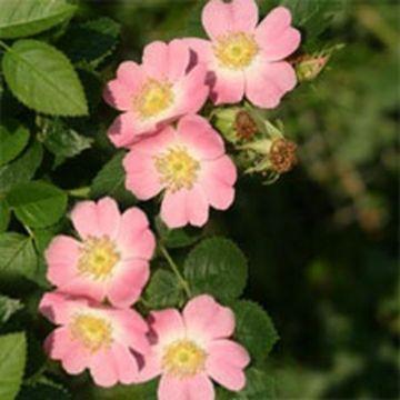 Äppelros (Rosa rubiginosa)