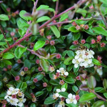 Dvärgmisspel (Cotoneaster dammeri)