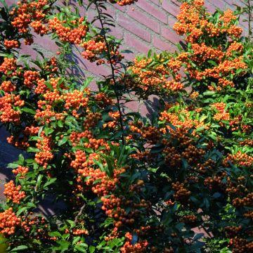 Eldtorn (Pyracantha coccinea Red column)