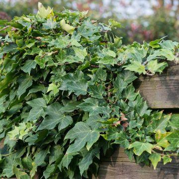 Murgröna (Hedera helix)